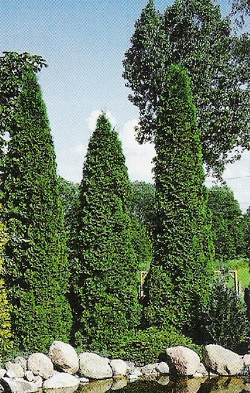 Туя западная Thuja occidentalis  Columna  (Колумна)