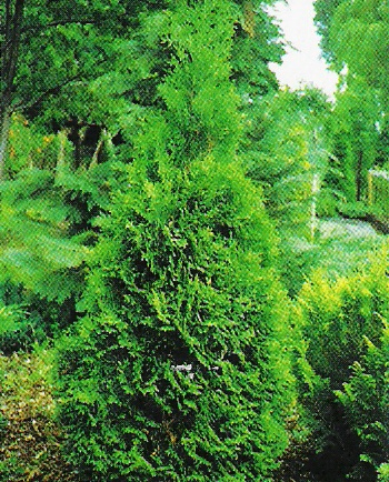 Туя западная Thuja occidentalis  Holmstrup  (Холмструп)
