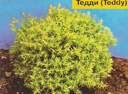 Туя западная Thuja occidentalis  Teddy  (Тедди)